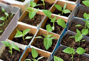 Когда садить перец на рассаду в 2019 году в Беларуси