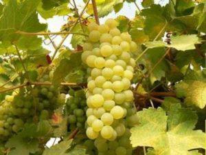 Самые подходящие сорта винограда для выращивания в Беларуси